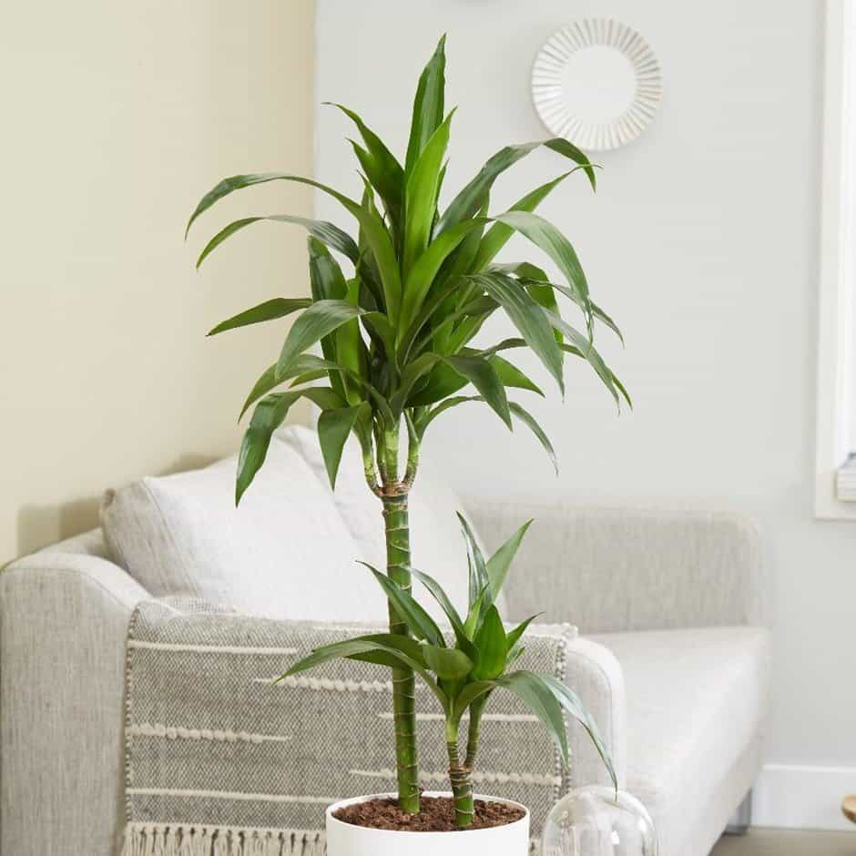 low-light-plants-dracaena