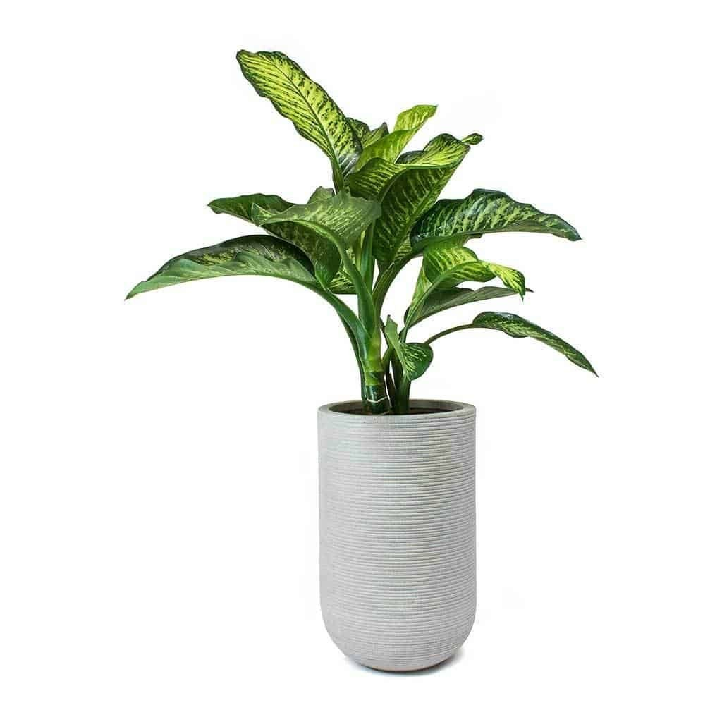 low-light-plants-dumb-cane