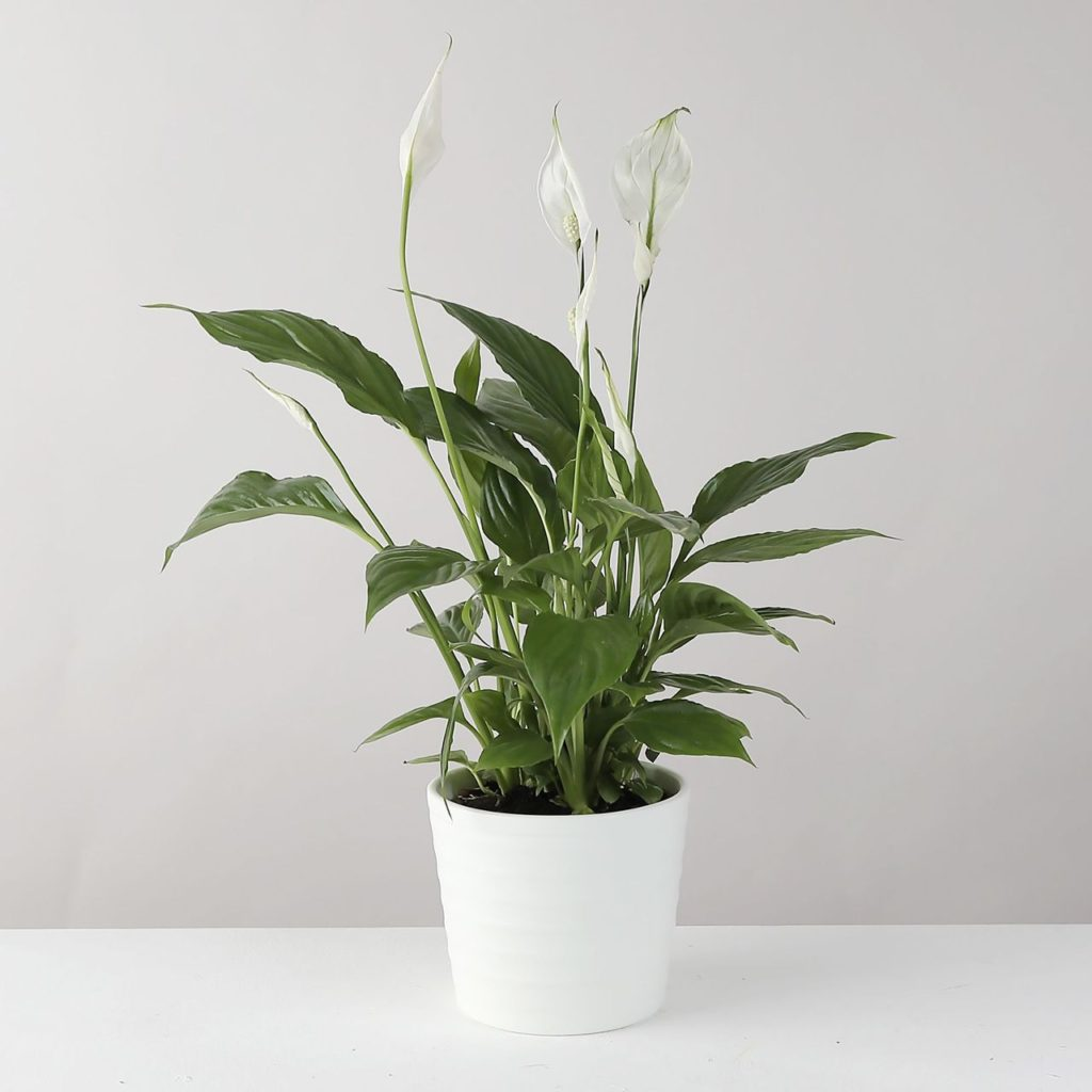 low-light-plants-peace-lily