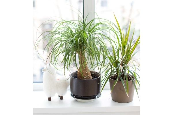 ponytail-palm-pet-friendly-indoor-house-plants