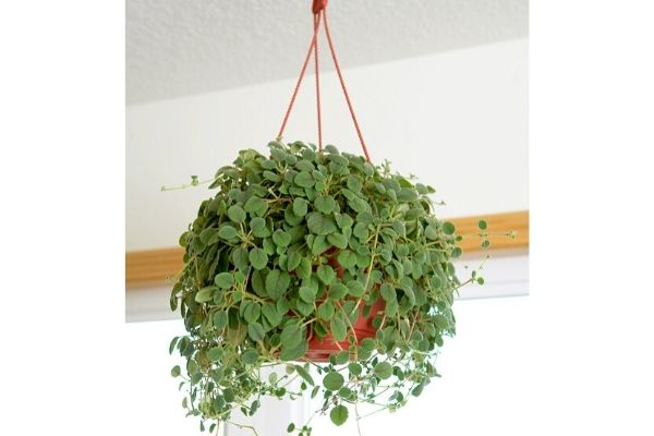 pet-friendly-hanging-plants