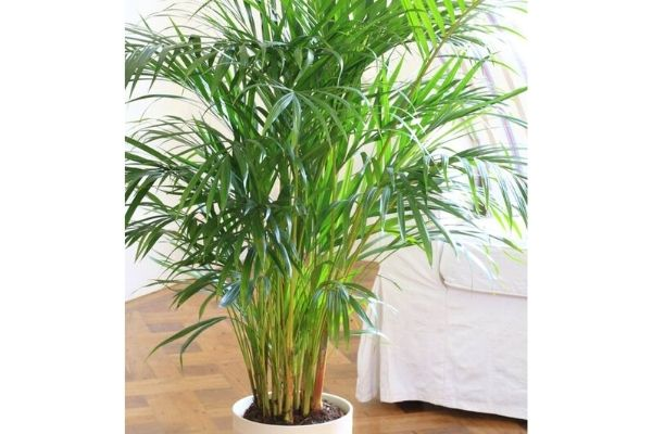 areca-palm-pet-safe-houseplant