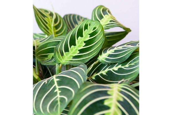 prayer-plant-houseplants-safe-for-cats-and-dogs