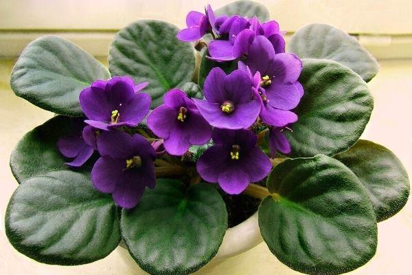 african-violet-pet-friendly-indoor-house-plants