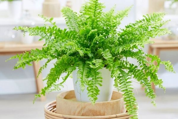 boston-fern-houseplants-safe-for-cats-dogs