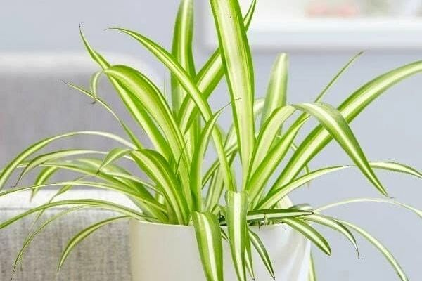spider-plant-pet-safe-indoor-houseplant