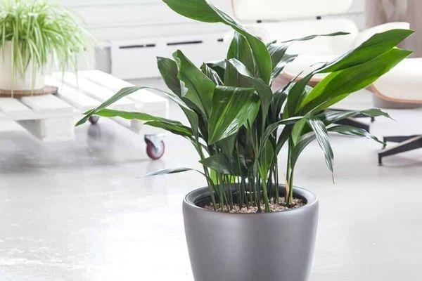 cast-iron-plant-pet-friendly-indoor-house-plants