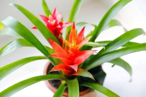 bromeliad-pet-friendly-indoor-house-plants