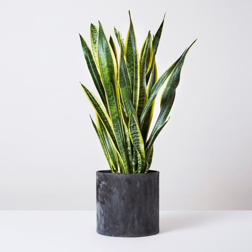 low-light-houseplants-snake-plant