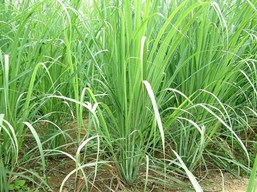 mosquito-repelling-plant-citronella-grass