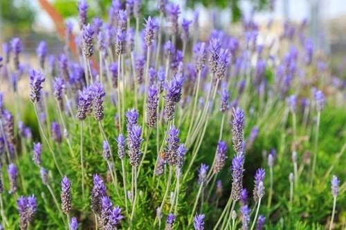 mosquito-repelling-plant-lavender