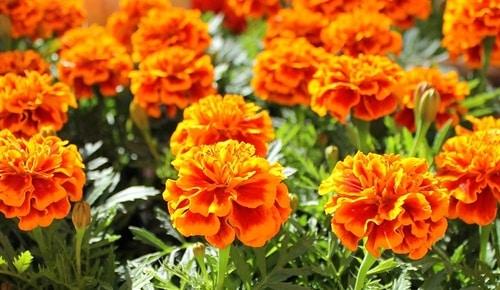 mosquito-repelling-plant-marigolds