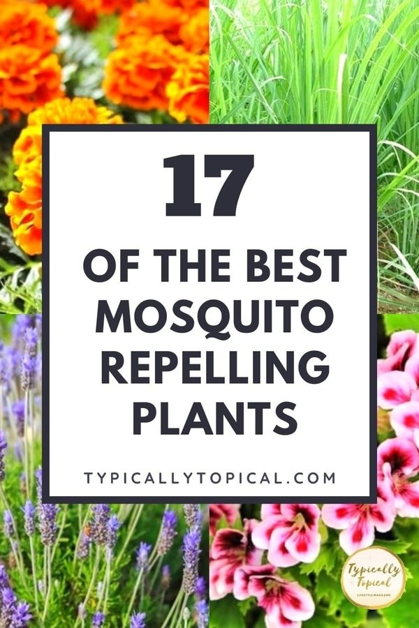 plants-that-repel-mosquitoes