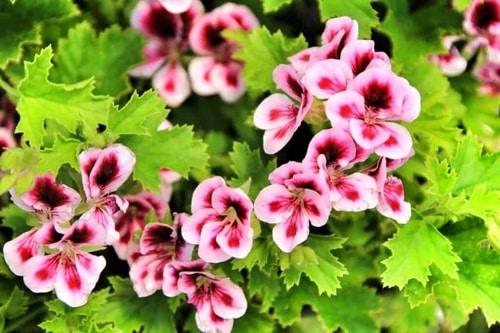 mosquito-repelling-plant-scented-geraniums