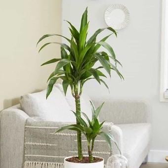 dracaena-tree