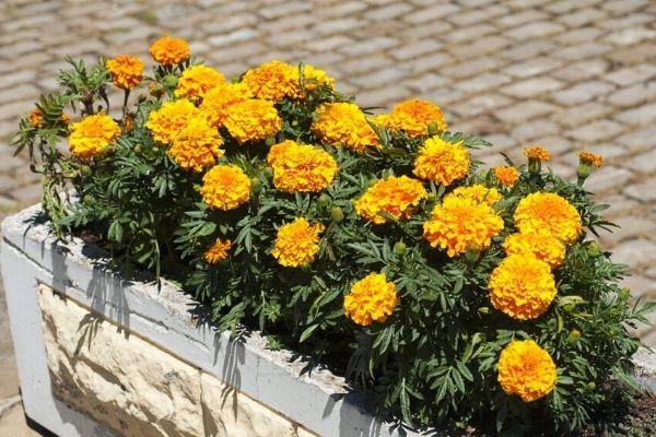 potted-cape-marigolds-pet-safe-houseplant