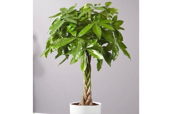 money-tree-houseplant-potted-safe-for-cats-dogs