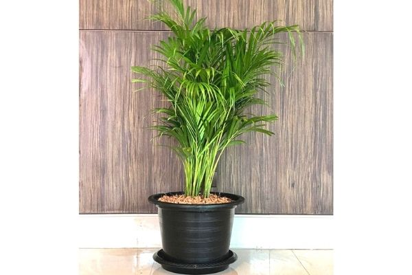 bamboo-palm-pet-safe-plants