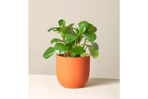 pepromia-green-houseplant-safe-for-pets