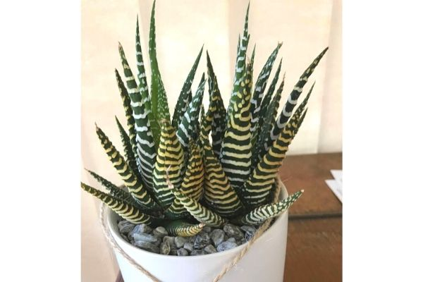 hawthoria-succulent-safe-for-cats-dogs