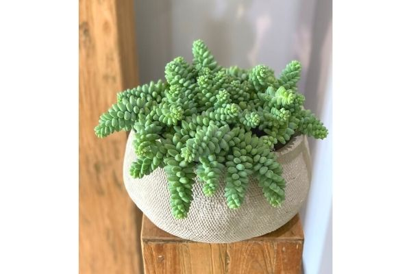 burros-tail-donkey-succulent-potted-plant-safe-for-pets