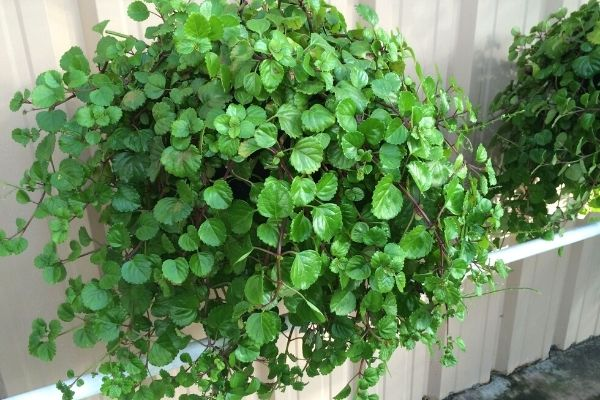 creeping-charlie-pet-friendly-houseplant-hanging-basket