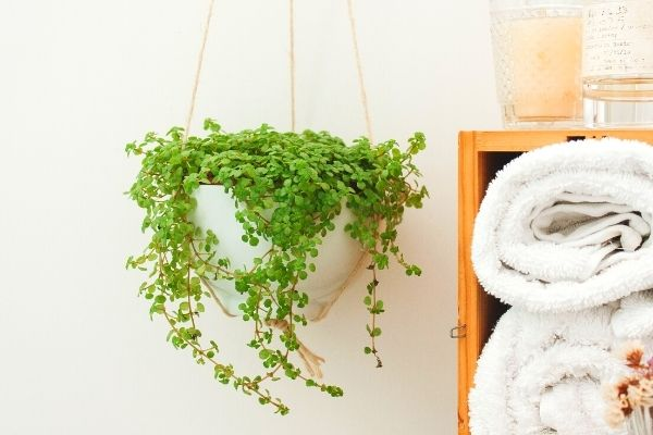 baby-tears-pet-friendly-hanging-plant