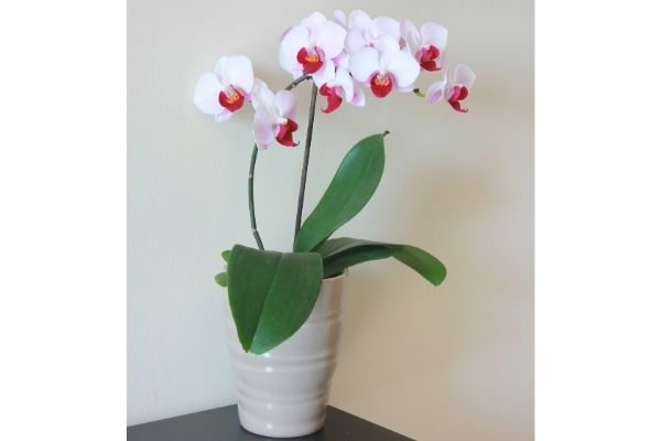 orchids-are-safe-for-pets-houseplant