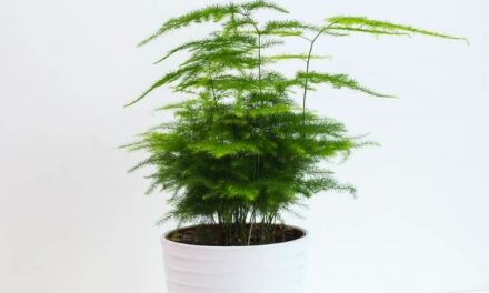 Plumosa Fern Care Guide: How to Keep Your Plant Alive