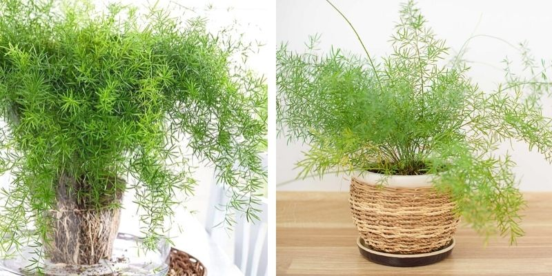two plumosa ferns indoors, potted, mixed potting soil, care guide