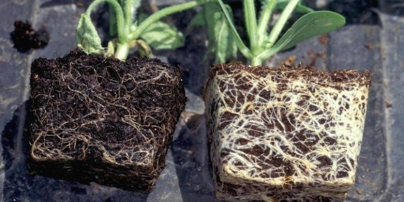 signs of root rot in plants, dark black soil, infected roots