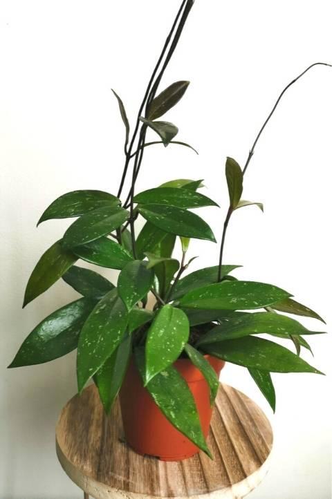 common wax plant hoya carnosa easy care