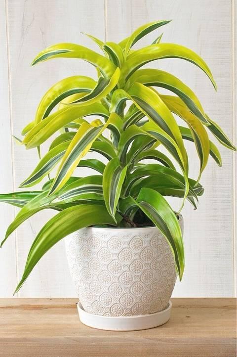 light green corn plant low maintenance species