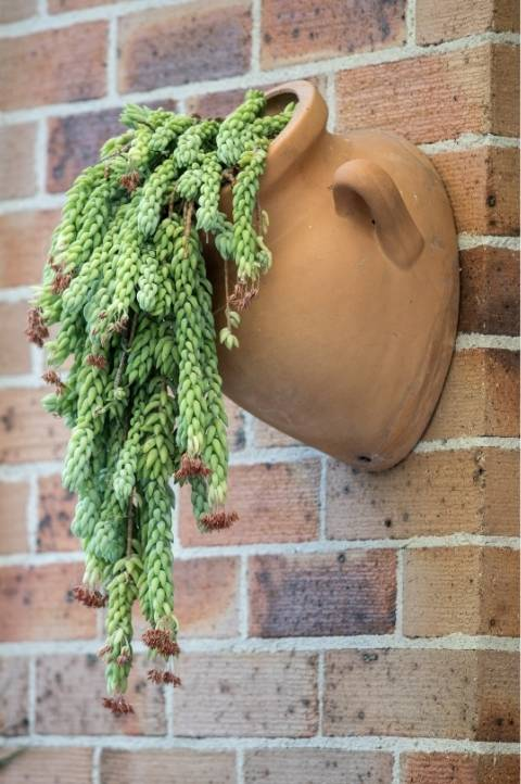 hanging donkey trail plant with long vines