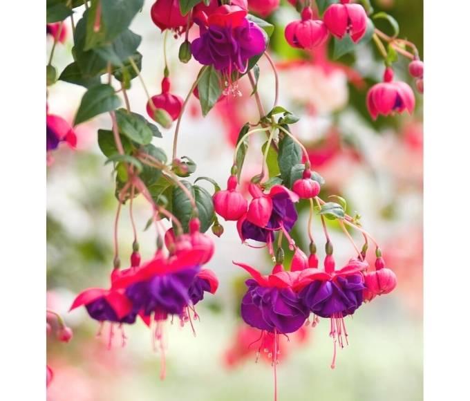 dark pink fuschia flowers growing in the garden