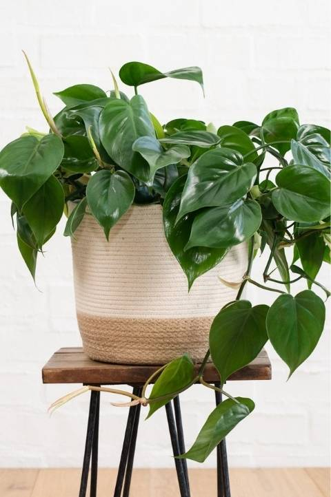 heartleaf philodendron with dark green heart shaped leaves