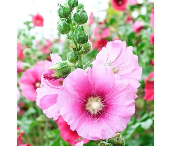 pink hollyhock perennial flowers