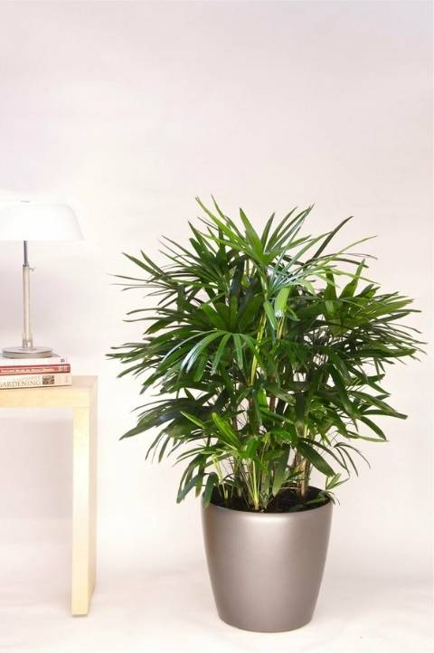 potted lady palm tree indoor houseplant