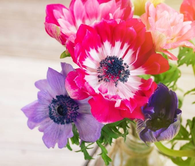 pink anemone flowers with white speckles