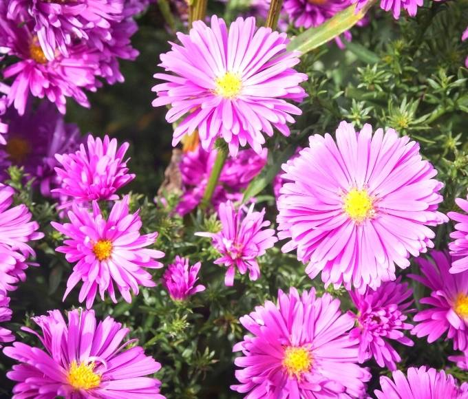 pink aster flowers in the garden