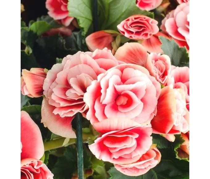 light pink begonias flowers