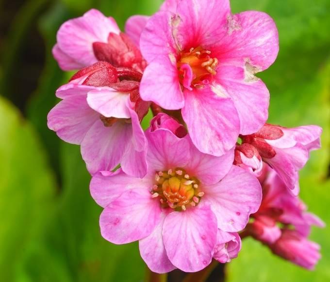 pink bergenia perennial flowers