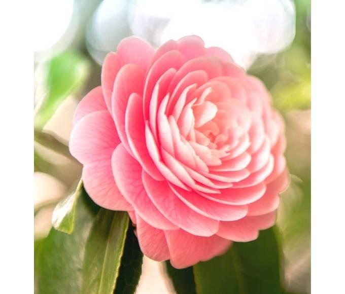 pink camellia flower plant