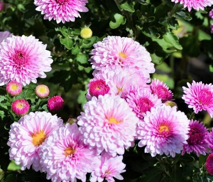 fuschia pink chrysanthemums growing in the garden
