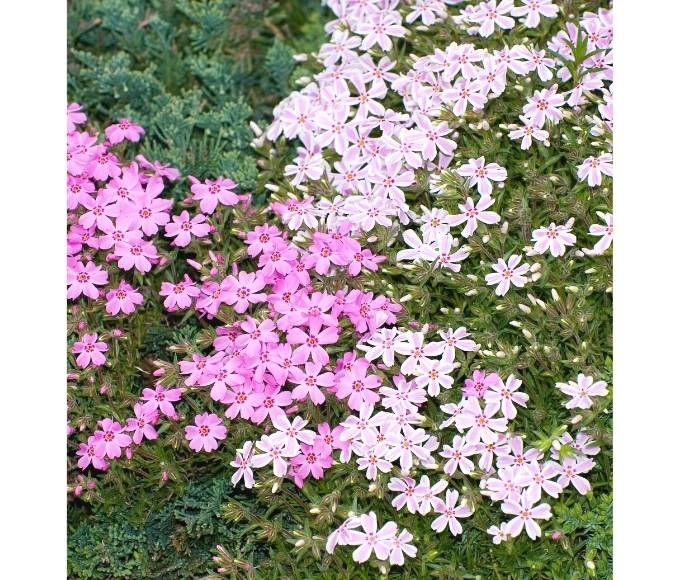 pink creeping phlox groundcover flowers