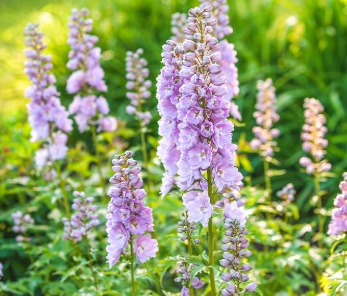 pink delphiniums perennial flowers