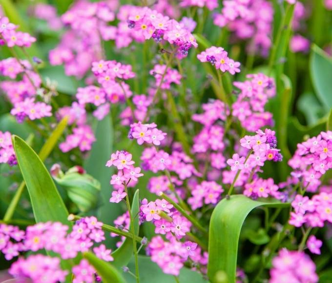 pink forget me not flowers perennial variety