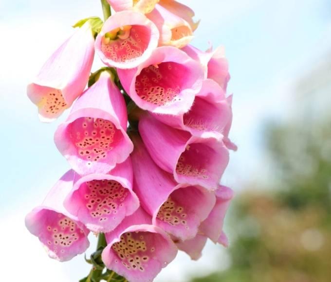 pink foxglove perennial flowers