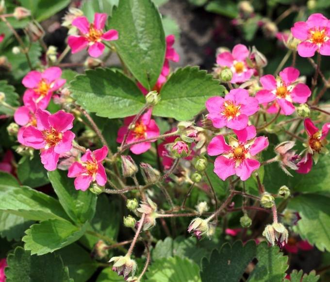 pink fragaria strawberry plant