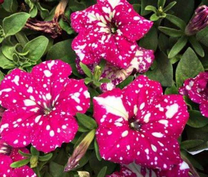 dark pink galaxy petunia perennial flowers with white speckles